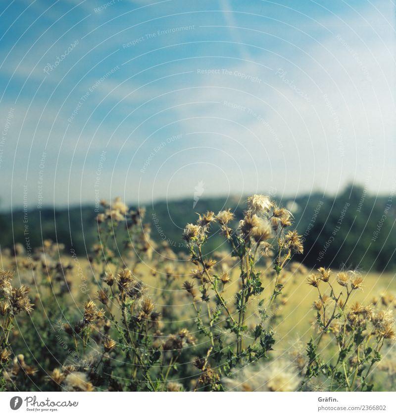 Disteln im Feld Umwelt Natur Landschaft Pflanze Sommer Schönes Wetter Blume Sträucher Grünpflanze Park Wiese Blühend verblüht Wachstum nachhaltig stachelig blau