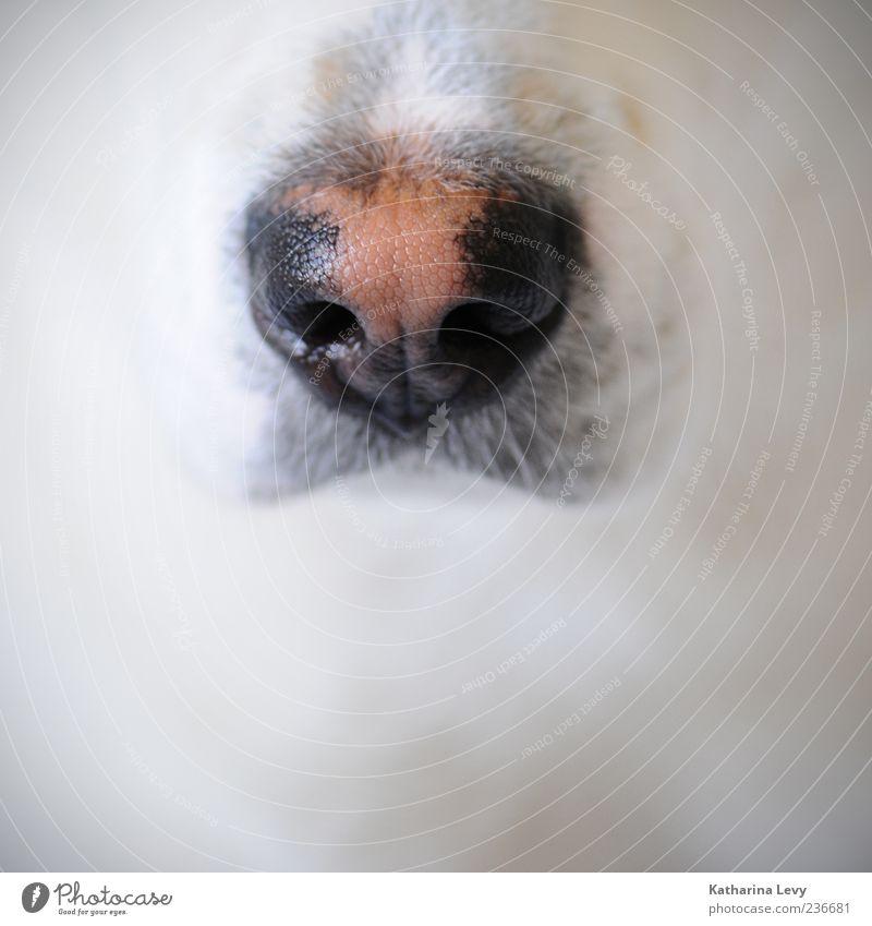Spürnase Tier Haustier Hund Tiergesicht 1 schwarz weiß Frühlingsgefühle Tierliebe Wachsamkeit Zufriedenheit Duft entdecken Identität rein ruhig Geruch Nase