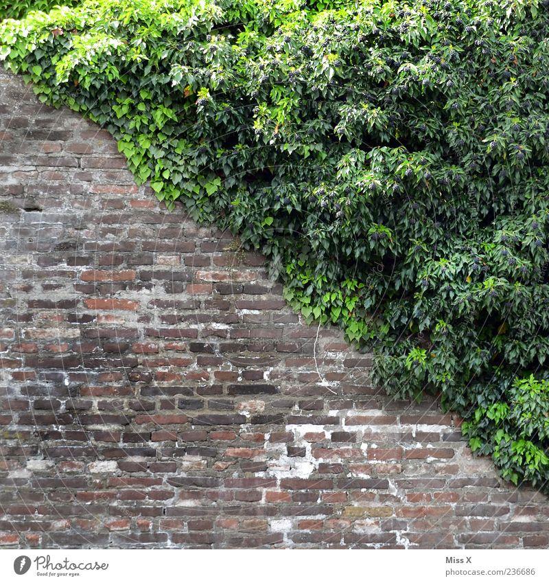 es geht bergab Pflanze Blatt Wand Mauer Wachstum Sträucher Backstein diagonal Efeu Backsteinwand
