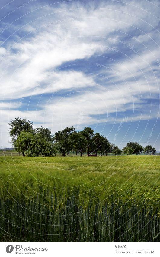 Weizenfeld Umwelt Natur Himmel Sommer Baum Feld blau grün Landwirtschaft Landschaft ländlich Farbfoto mehrfarbig Außenaufnahme Menschenleer Textfreiraum oben