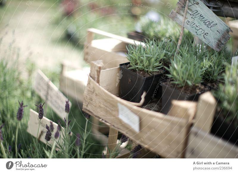 Lavendel Zwerge Natur grün schön Pflanze Blume Garten Gesundheit Wohnung Schilder & Markierungen natürlich Design frisch authentisch Häusliches Leben