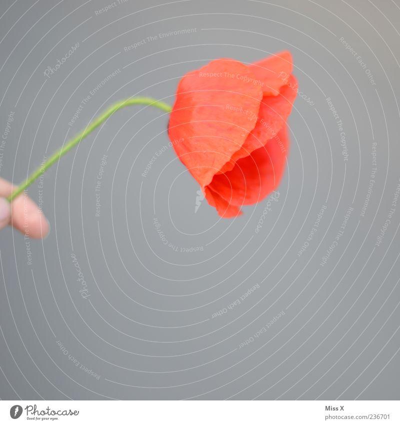 Mohnblume Hand Pflanze rot Blume Blüte festhalten Blühend Duft welk verblüht Mohnblüte Blumenstengel