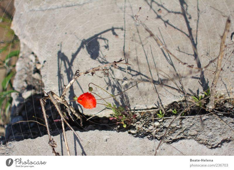 Survival of the Fittest alt rot Blume Wand grau Stein Mauer außergewöhnlich Beton Wachstum leuchten kaputt Sträucher einfach Schönes Wetter Blühend
