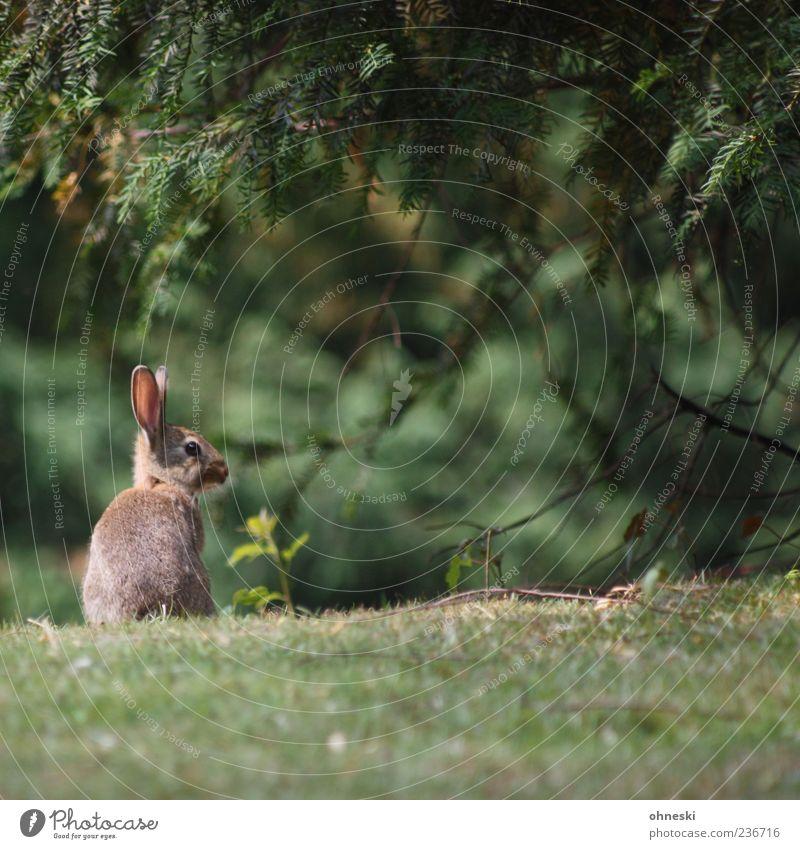 Hase - klein Natur grün Tier Landschaft Park Feste & Feiern Wildtier Ostern Hoffnung niedlich Tiergesicht Glaube Tanne Hase & Kaninchen Feiertag