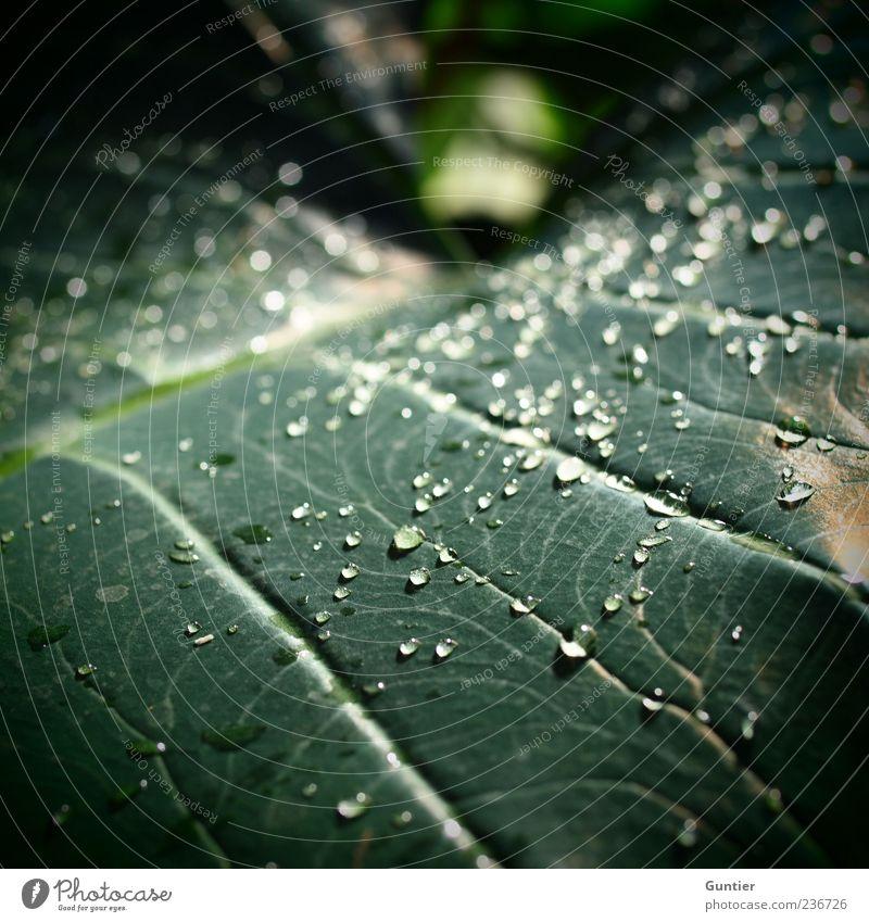 after the rain comes... Natur grün Pflanze Sommer Blatt schwarz Umwelt glänzend natürlich nass frisch Wassertropfen Schönes Wetter Flüssigkeit Urwald Tau