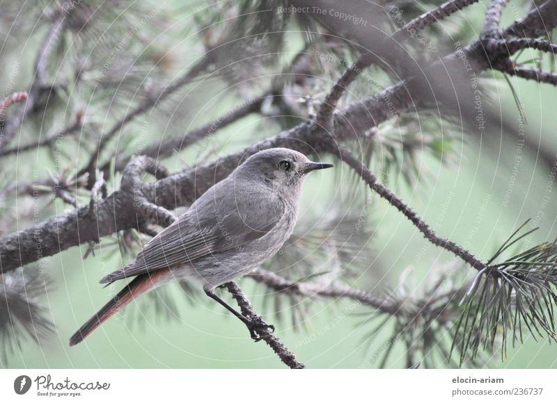 Model-Posing Natur Pflanze Tier Wildtier Vogel Flügel 1 Stolz Farbfoto Außenaufnahme Tierporträt Tanne Ast Tannennadel Feder gefiedert