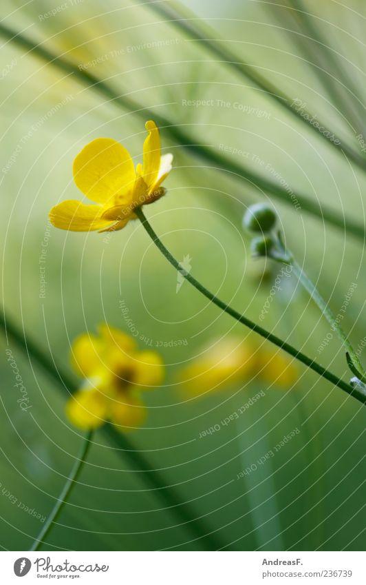 Butterblumenwiese Umwelt Natur Pflanze Frühling Sommer Blume Blüte Wildpflanze Wiese gelb grün Hahnenfuß Hahnenfußgewächse Unschärfe Blumenwiese Makroaufnahme