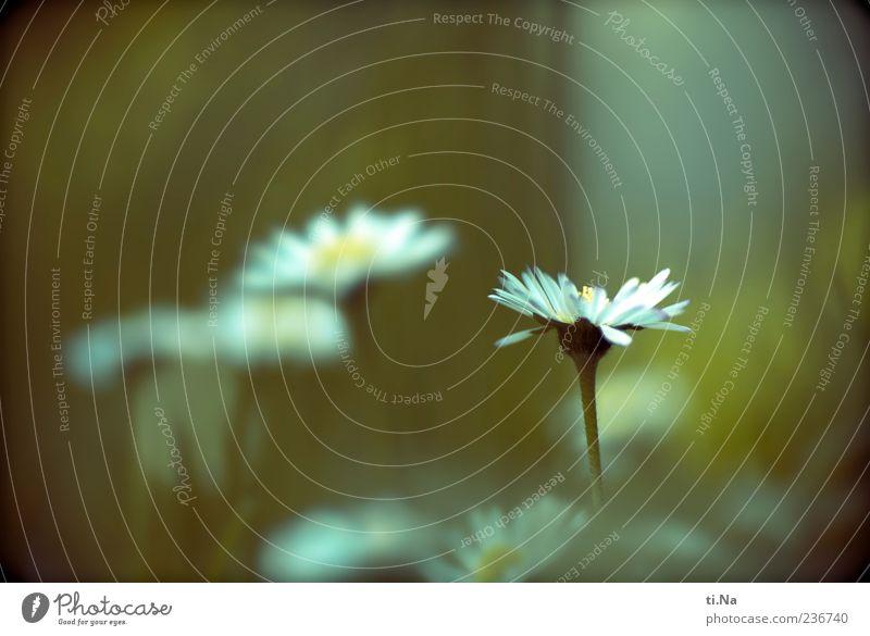 Blümchen für die Gänse Natur blau weiß schön Pflanze Blume Blatt gelb Umwelt Landschaft Wiese Frühling klein Blüte hell Wachstum