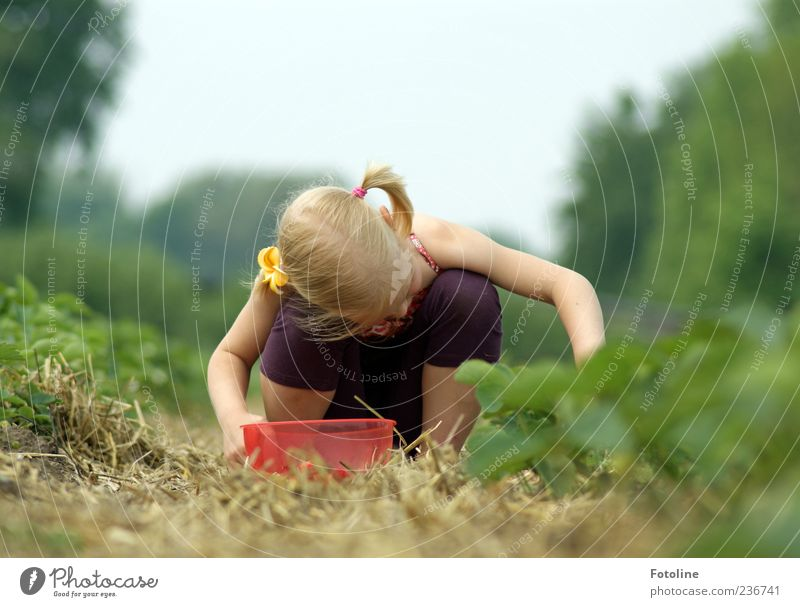 Erdbeerernte Mensch Kind Natur Pflanze Sommer Mädchen Umwelt Haare & Frisuren Beine hell Kindheit blond Arme Haut Ernte Sammlung