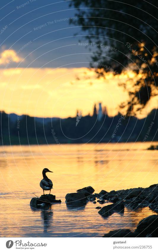 Stick Duck Natur rot Tier Landschaft Stein Vogel Zufriedenheit Felsen Wildtier frei stehen Seeufer Wachsamkeit Abenddämmerung Ente Umwelt