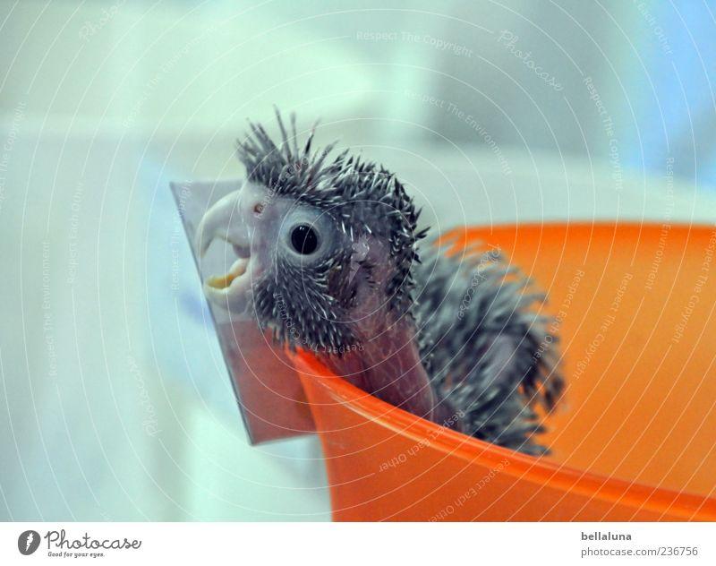 Im Eimer! Tier Haustier Vogel Tiergesicht 1 Tierjunges schreien Papageienvogel orange Feder Schalen & Schüsseln Schnabel Farbfoto mehrfarbig Innenaufnahme