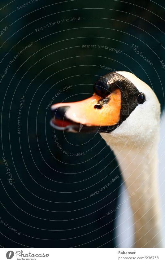 Hunger!! Natur weiß Tier Auge offen Orange Wildtier Tiergesicht Lebewesen Hals Schnabel Schwan Frucht Vor dunklem Hintergrund