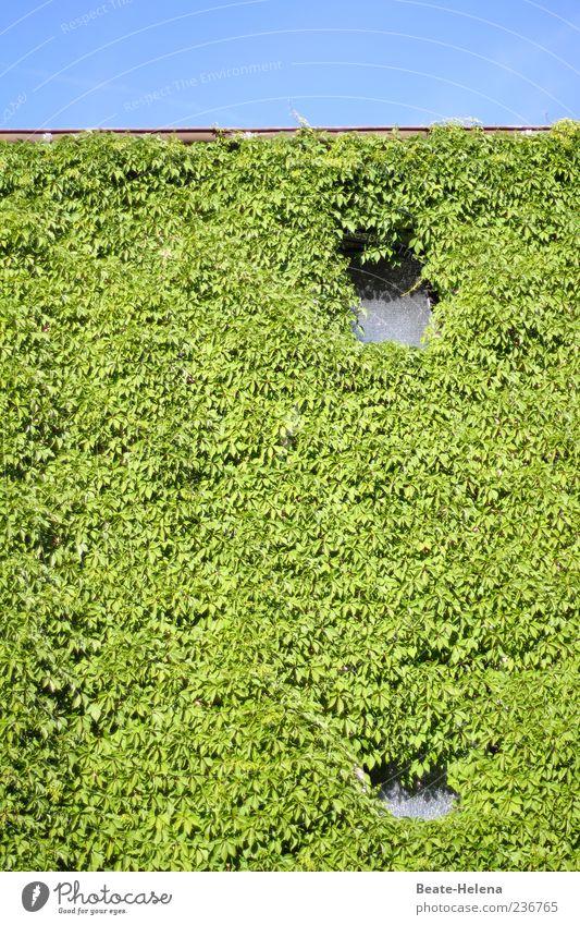 Gucklöcher im Grünen blau grün Pflanze Haus Wand Mauer Fassade natürlich Efeu Kletterpflanzen bewachsen Natur Naturwuchs