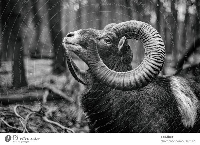 Mufflon Tier Nutztier Wildtier 1 beobachten Blick authentisch außergewöhnlich elegant frei groß nah natürlich Neugier wild Kraft Mut Tierliebe schön achtsam
