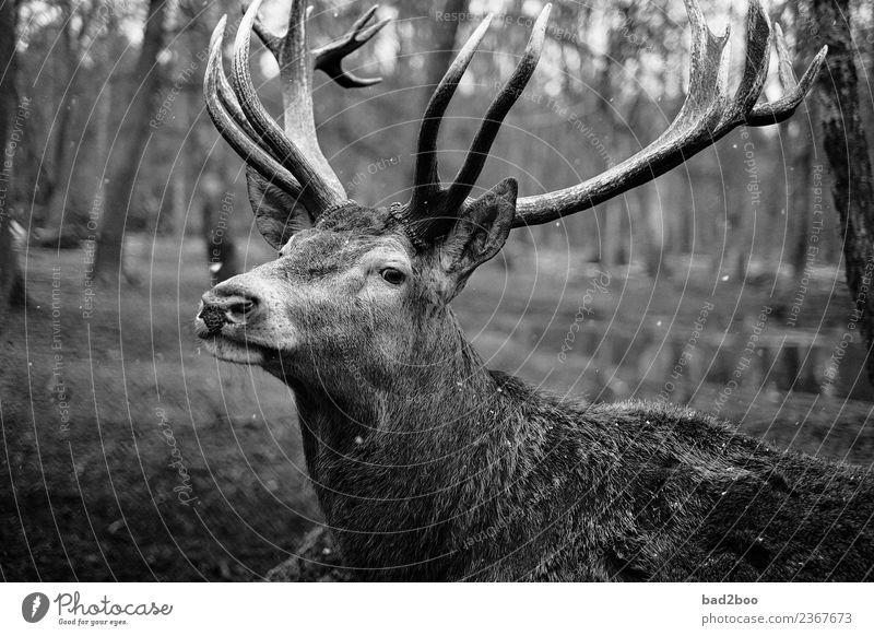 Deer Tier Nutztier Wildtier Tiergesicht Fell Zoo Hirsch 1 beobachten entdecken Erholung Blick stehen wandern warten ästhetisch außergewöhnlich authentisch