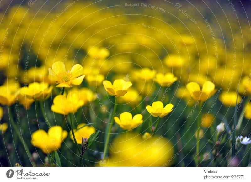 (Un)Scharfer Hahnenfuß Natur Pflanze Blume Frühlingsgefühle Sumpf-Dotterblumen Hahnenfußgewächse Farbfoto Außenaufnahme Unschärfe Schwache Tiefenschärfe gelb