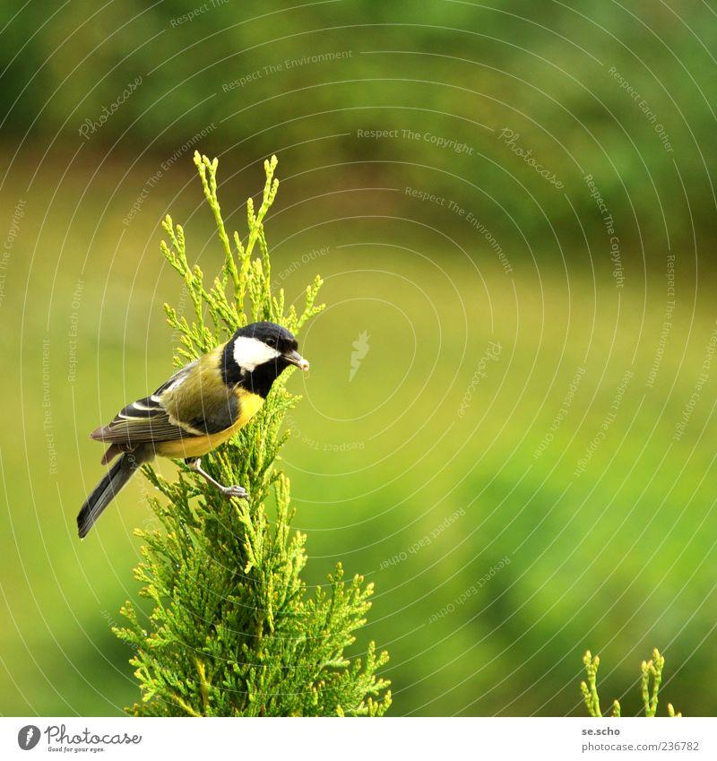 Parus major - Kohlmeise Natur grün Tier Landschaft Vogel Wildtier ästhetisch Tanne