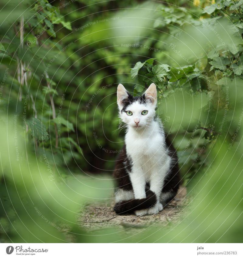 scheue kleine mau Pflanze Sträucher Grünpflanze Garten Tier Haustier Katze 1 Tierjunges Blick sitzen Neugier Schüchternheit Farbfoto Außenaufnahme Menschenleer