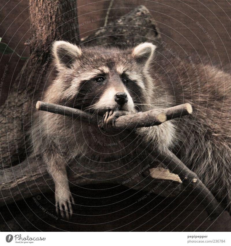 Laaaangweilig Erholung Natur Baum Tier Wildtier Tiergesicht Fell Krallen Pfote Zoo 1 beobachten hängen hocken Blick träumen Traurigkeit braun Stimmung ruhig