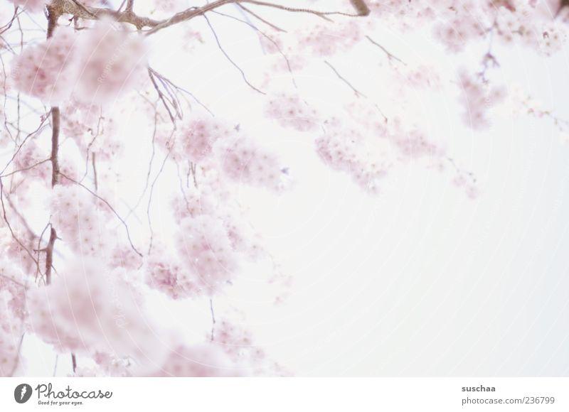 duftige frühlings watteflauschbällchen Natur Pflanze Himmel Frühling Schönes Wetter Erwartung Wachstum Blühend Ast rosa weich Gedeckte Farben Außenaufnahme