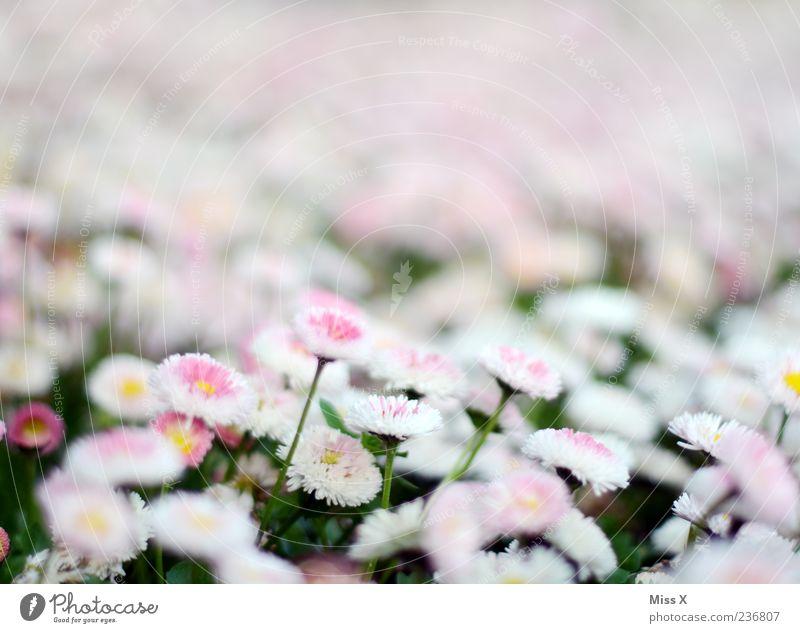 Bellis Frühling Pflanze Blume Blüte Garten Wiese Blühend Wachstum rosa weiß Gänseblümchen Farbfoto Außenaufnahme Nahaufnahme Muster Menschenleer