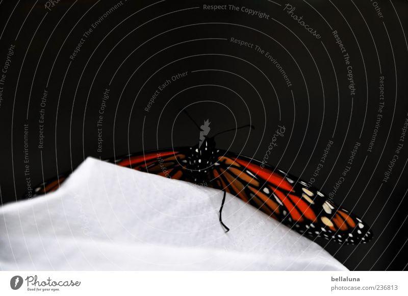 Über den Berg. Tier Wildtier Schmetterling Flügel 1 sitzen elegant fantastisch schön Monarch Edelfalter tagaktiv Farbfoto mehrfarbig Innenaufnahme