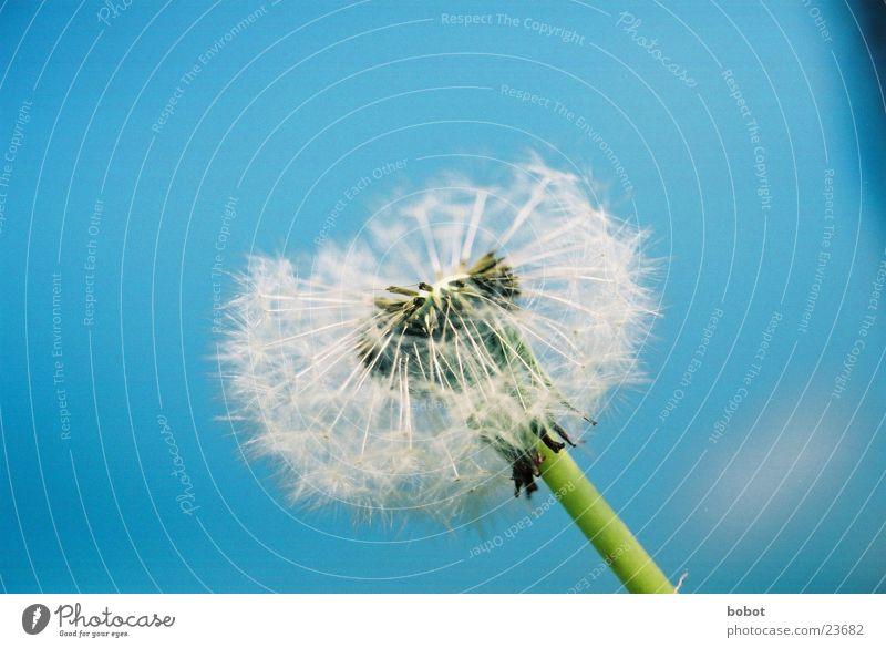 Blaaaseblümchen 002 Himmel blau Pflanze Blüte Wind Stengel Löwenzahn Samen Fertilisation