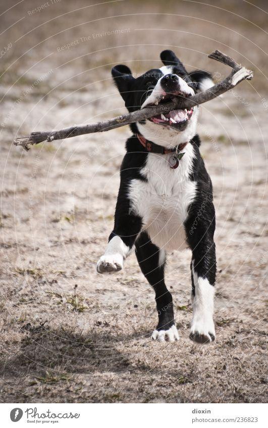 Amy Tier Haustier Hund 1 rennen Spielen springen Begeisterung Euphorie Kraft Bewegung apportieren Stock Ast Farbfoto Außenaufnahme Menschenleer