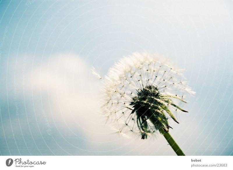 Blaaaseblümchen 001 Löwenzahn Pflanze Stengel Blüte Fertilisation Himmel blau Samen Wind !