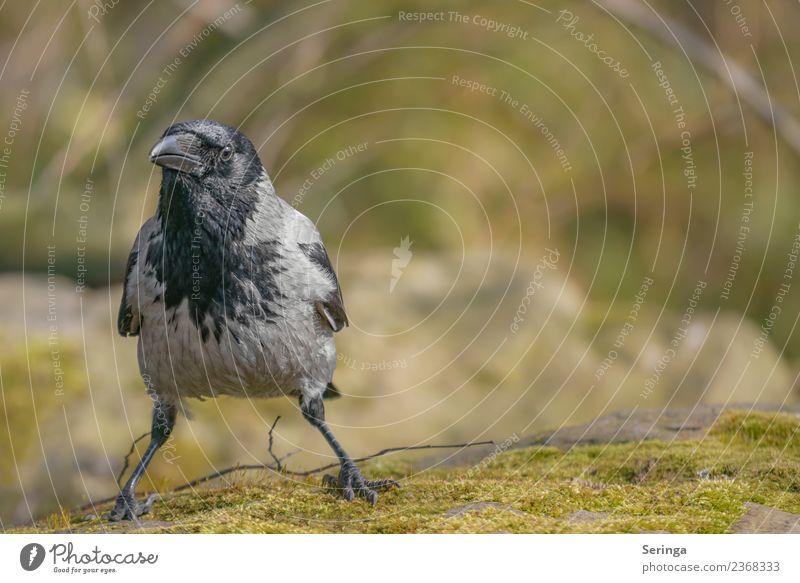 Rabenkrähe Nebelkrähe (Corvus corone cornix) Natur Landschaft Pflanze Tier Garten Park Wiese Feld Wald Wildtier Vogel Tiergesicht Flügel Krallen 1 fliegen Blick