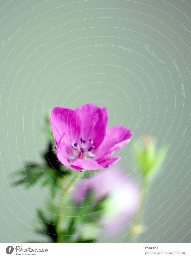 lila blühend Pflanze Frühling Sommer Blatt Blüte Grünpflanze grün violett Blühend Blütenstempel klein Farbfoto Hintergrund neutral Textfreiraum oben