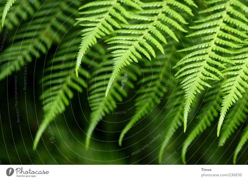 Farn Natur Frühling Sommer Pflanze Grünpflanze Wildpflanze grün Wachstum Spitze Farbfoto Außenaufnahme Muster Strukturen & Formen Schwache Tiefenschärfe