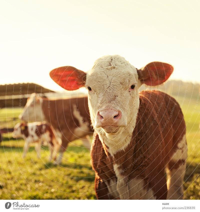 Montag Morgen Natur Sommer Tier Umwelt Wiese Tierjunges Feld niedlich Ohr Tiergesicht Weide Tierporträt Nutztier Rind Landleben Kalb
