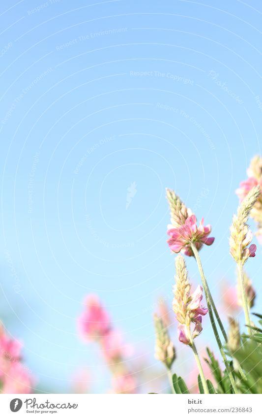 Dankeschön... Himmel Natur blau Pflanze Sommer Blume ruhig Wiese Frühling Blüte natürlich Feste & Feiern Stimmung rosa wild Geburtstag