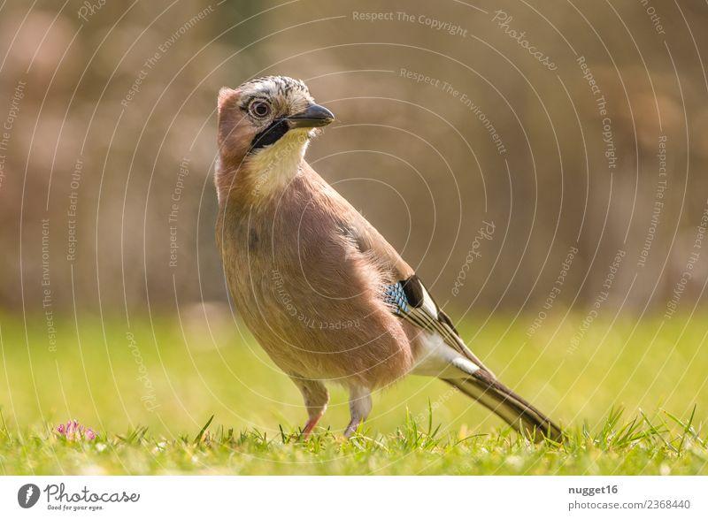 Eichelhäher 1 Umwelt Natur Pflanze Tier Frühling Sommer Herbst Klima Schönes Wetter Gras Sträucher Garten Park Wiese Feld Wald Wildtier Vogel Tiergesicht Flügel