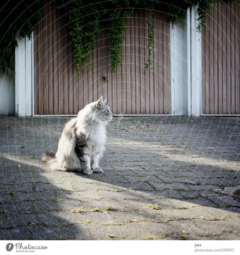 katze, auf mittagessen wartend Katze schön Pflanze Tier Fell Wachsamkeit Kopfsteinpflaster Haustier Garage Hof Grünpflanze Einfahrt freilebend Herumtreiben Straßenkatze