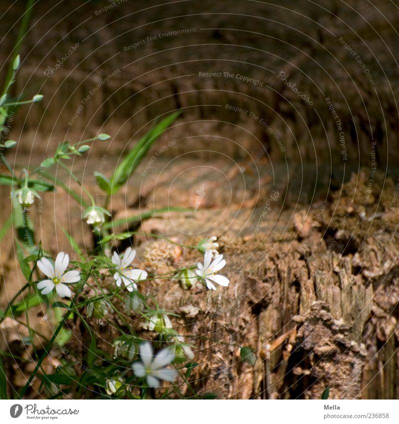 Waldwoche Natur weiß grün schön Pflanze Sommer Blume Wald Umwelt Holz Frühling Gras Blüte braun natürlich Wachstum