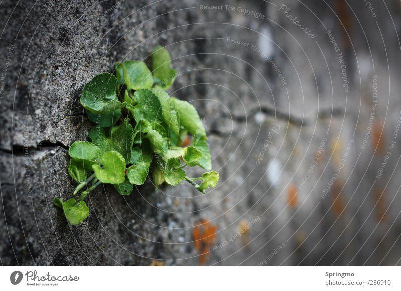 ausDRUCKsstark Natur Pflanze Frühling Blatt Wildpflanze Felsen Mauer Wand Stein Beton Blühend Wachstum Aggression wild grün Kraft Ausdauer anstrengen Energie