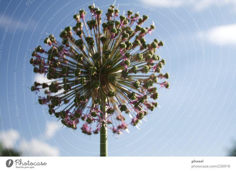 Lauch im Gegenlicht blau grün Pflanze Glück Blüte Stil hell rund einzigartig Schönes Wetter violett Kugel Blauer Himmel stachelig Mittelpunkt Schwerpunkt