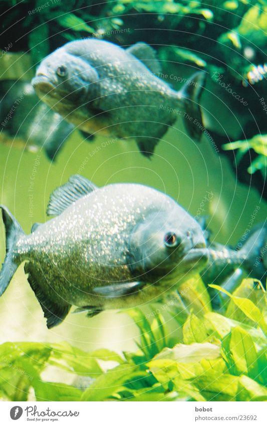"""""""Jungs, es ist angerichtet!"""" See Verkehr Fisch Fluss Gebiss beißen Gewässer Piranha"""