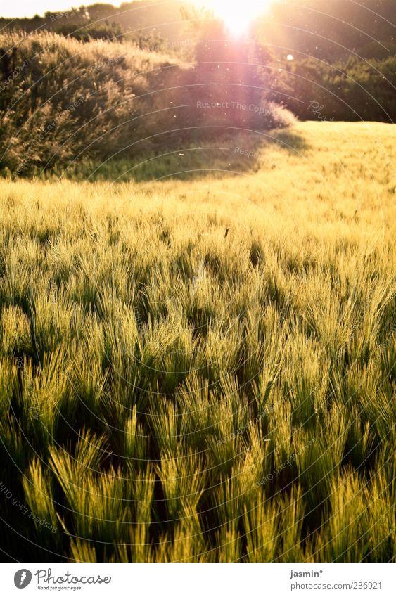 Letzte Sonnenstrahlen Natur Landschaft Wärme Frühling Gras hell Feld frei Abenddämmerung Perspektive Licht