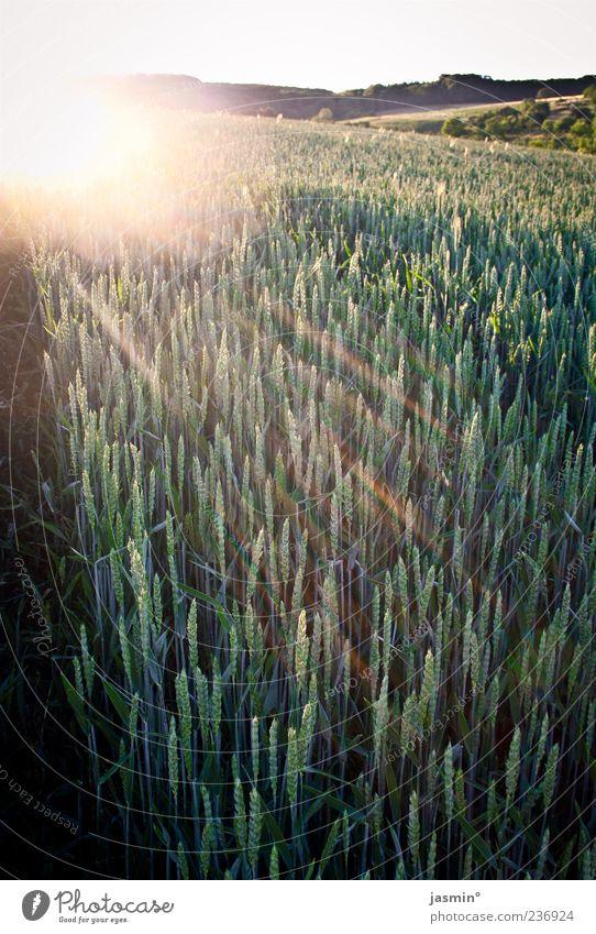 Weizen Natur grün Sonne Ferne Landschaft Wärme Wetter gold Feld Landwirtschaft Sonnenuntergang