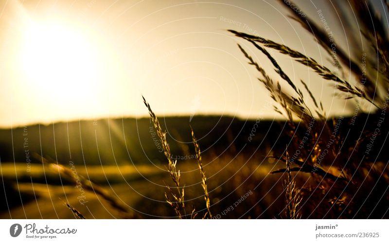 Abendstimmung Natur Pflanze Sonne gelb Landschaft Wiese Gras braun gold Feld Idylle Abenddämmerung