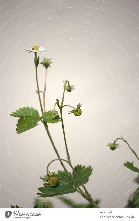 Früchtchen grün Pflanze Umwelt klein Blüte dünn Kamille Wildpflanze Kamillenblüten