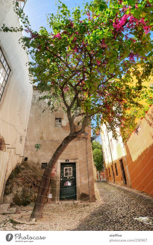 Portugiesische Gespenstfichte Frühling Sommer Schönes Wetter Baum Lissabon Portugal Altstadt Haus Mauer Wand Tür Erholung Gelassenheit Inspiration Tourismus