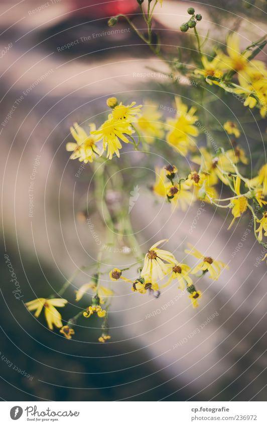 Gelb Natur Pflanze Sommer gelb Frühling Blüte Wachstum Schönes Wetter Blühend Grünpflanze