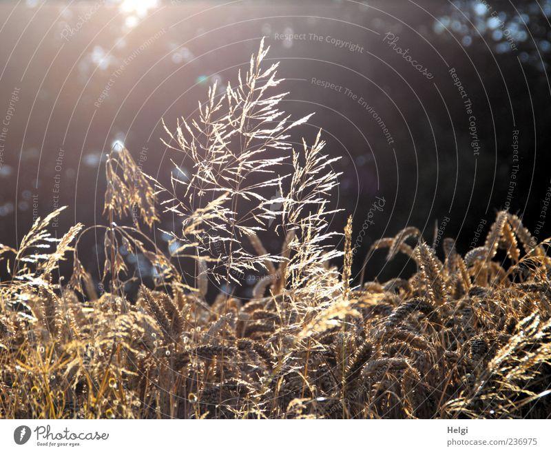 Abendsonne Umwelt Natur Pflanze Sommer Schönes Wetter Gras Nutzpflanze Wildpflanze Weizen Getreide Kornfeld Feld Blühend glänzend leuchten Wachstum ästhetisch
