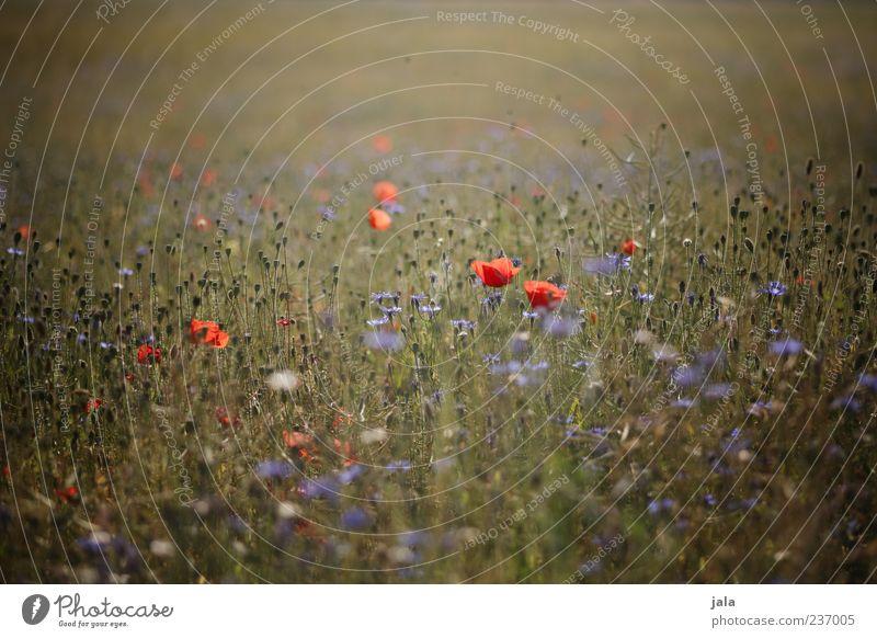 wenn der mohn blüht... Natur blau schön Pflanze rot Blume Landschaft Wiese Gras Blüte Mohn Blumenwiese