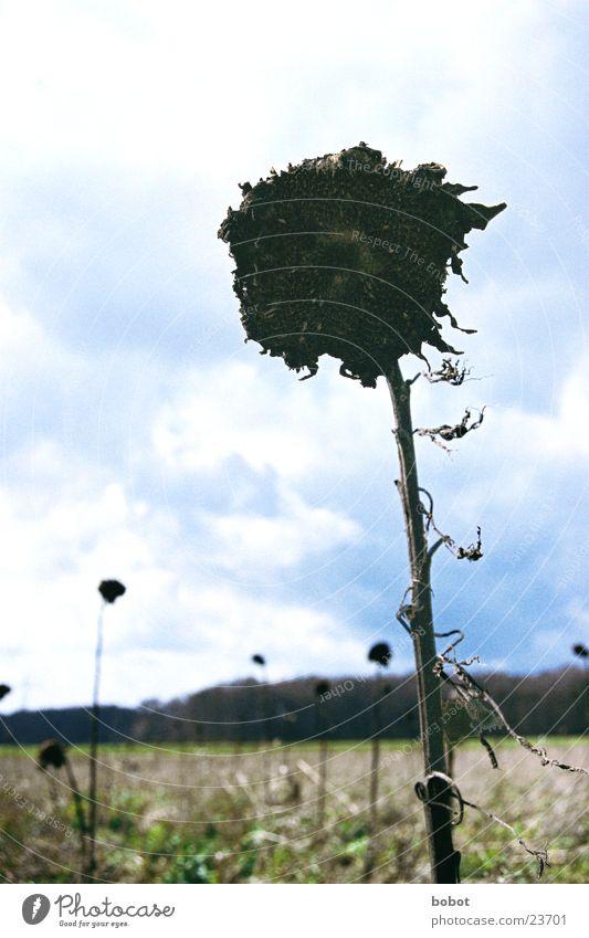 Hands of time Sonnenblume Wiese Zeit trocken Sträucher Blume Pflanze schwarz Tod vertrocknet Himmel blau Wind