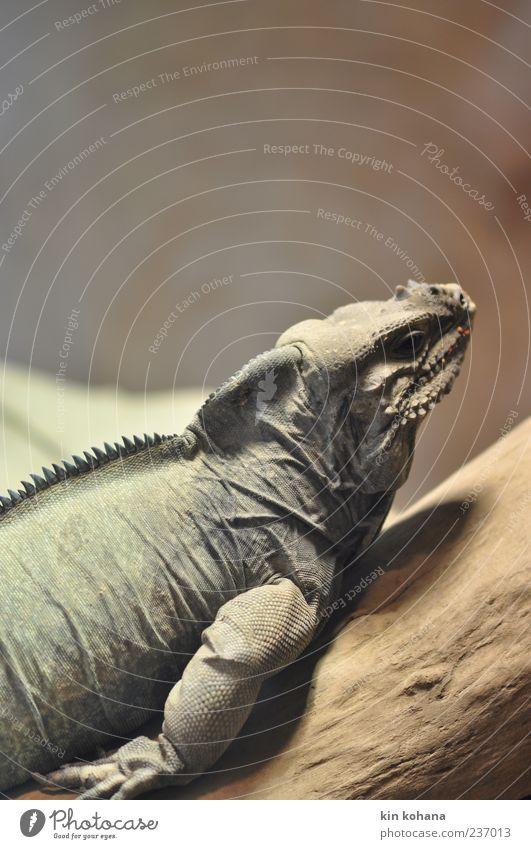 faul. Tier ruhig Holz Kopf Wildtier liegen Zoo exotisch Anschnitt Echsen Leguane